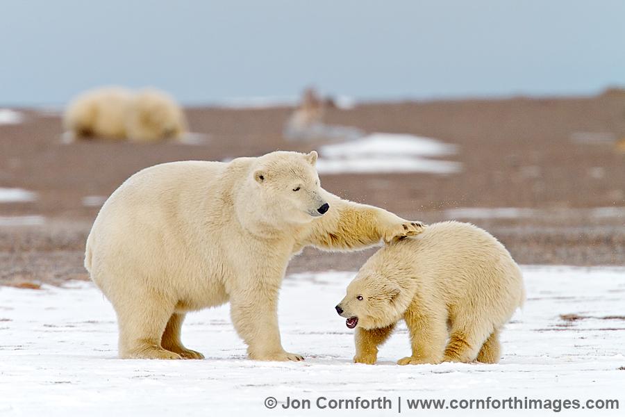 Barter Island Polar Bears 1