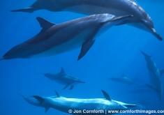 Spinner Dolphin 1