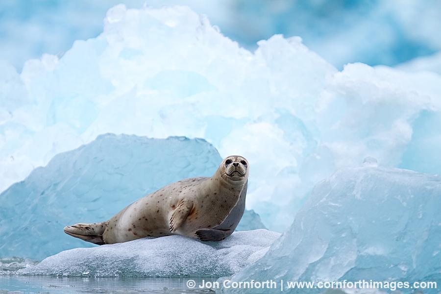 South Sawyer Glacier Harbor Seal 2